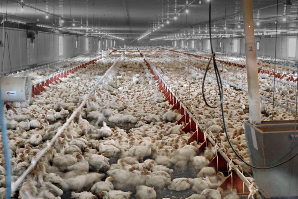 Apocalyptic virus from chicken farms could dwarf coronavirus and kill HALF world's population, scientist warns