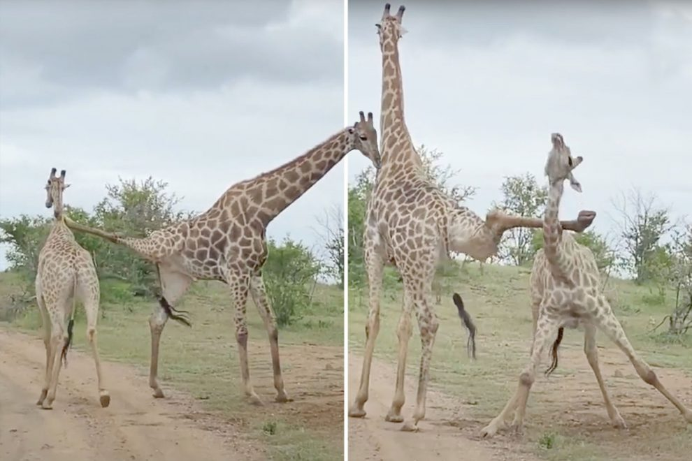 Clumsy giraffe gets its leg caught around rival's neck during scrap