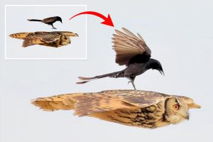 Fearless black drongo takes on an Indian eagle owl by hitching a ride on its back