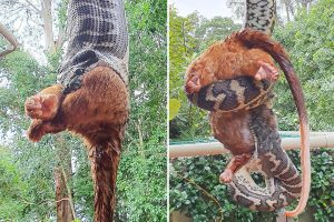 Horrifying footage shows the moment a huge hungry python devours a large possum in an Australian backyard