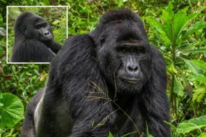 Outrage as world-famous endangered gorilla Rafiki is speared to death by cruel hunters in Ugandan mountains