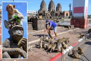 Sex-crazed monkeys running riot in Thai city are being sterilised in bid to bring rampaging population under control