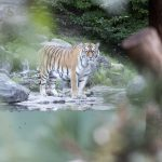 Tiger mauls female keeper, 55, to death at Zurich zoo in front of horrified visitors